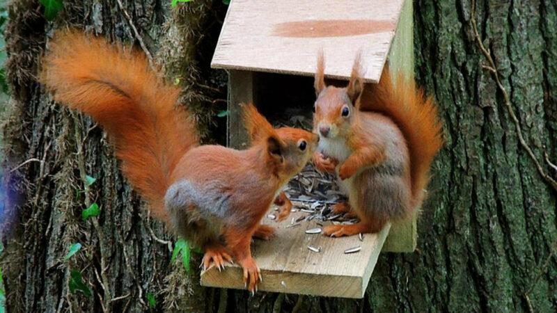 Plas Newydd Red Squirrel 3 Web
