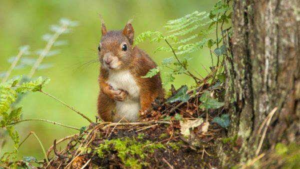 Red Squirrels at Plas Newydd